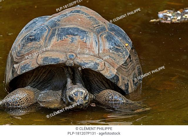 Aldabra giant tortoise (Aldabrachelys gigantea / Testudo gigantea) native to the islands of the Aldabra Atoll in the Seychelles