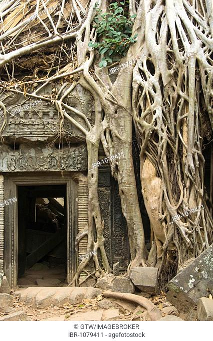 Kapok tree growing in the ruins of Ta Som Temple, Angkor, UNESCO World Heritage Site, Siem Reap, Cambodia