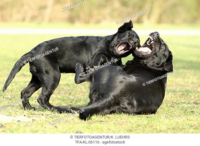 playing Labrador Retriever