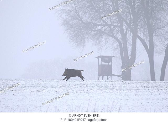 Wild boar (Sus scrofa) sow fleeing over snow covered field in winter in front of hunting blind / raised hide