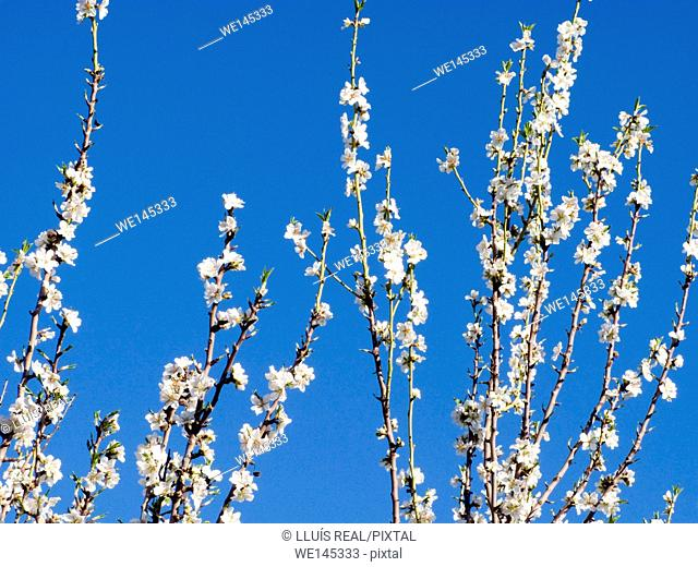 Close-up of branches of a flowering almond tree. Winter. Mallorca, Balearic Islands, Spain
