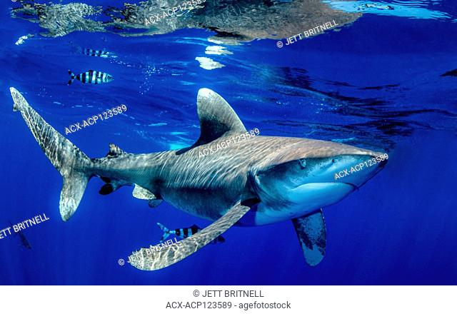 Oceanic whitetip shark, Carcharhinus longimanus, approximatley 7 miles offshore, Cat Island, Caribbean, Bahamas, Critically Endangered in the Northwest and...