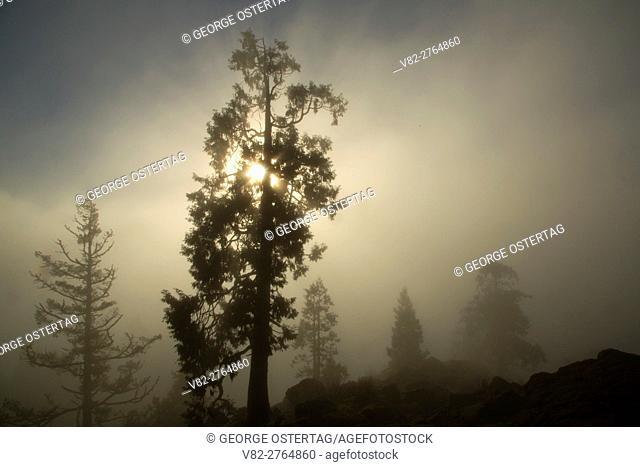 Cedar in fog on Spencer Butte Summit Main Trail, Spencer Butte Park, Eugene, Oregon
