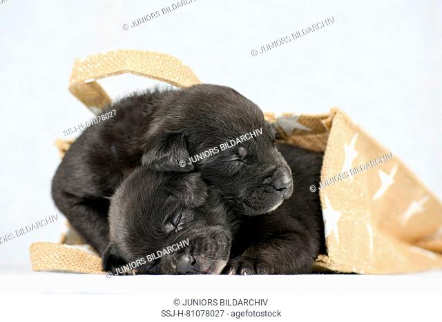 Mixed-breed dogs. Two Puppies (4 weeks old) lying in a bag. Studio picture against a white background. Germany