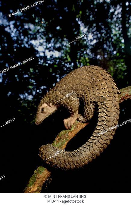 Long-tailed pangolin, Manis tetradactyla, Congo, DRC, Democratic Republic of the Congo