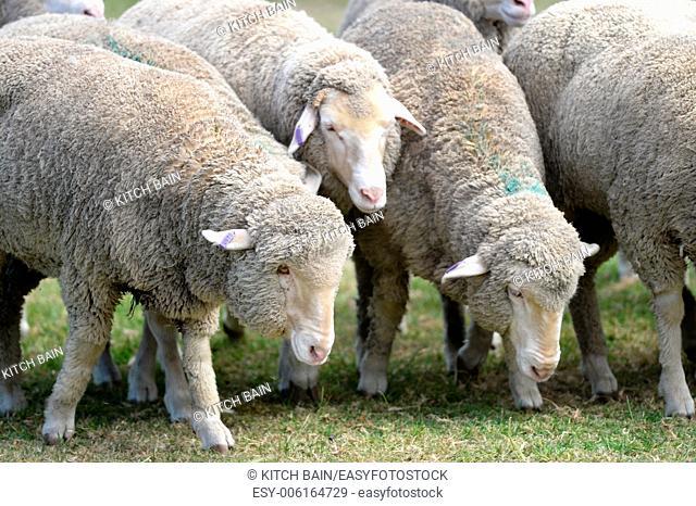 A close up shot of aAustralian sheep