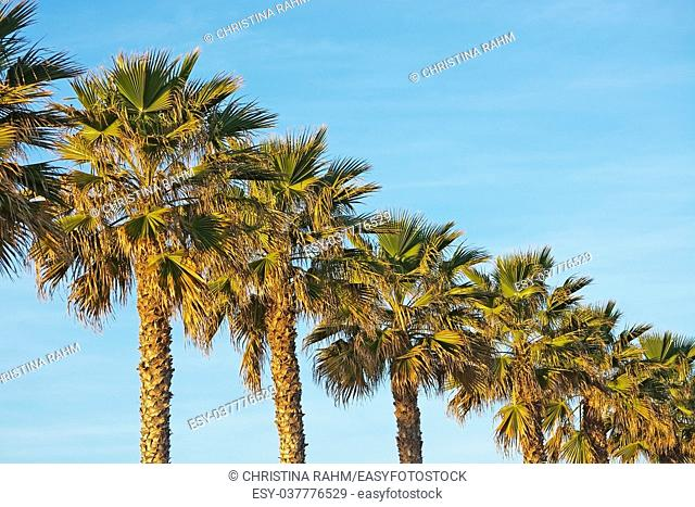 Palm trees in a row in sunlight against blue sky in Mallorca, Spain