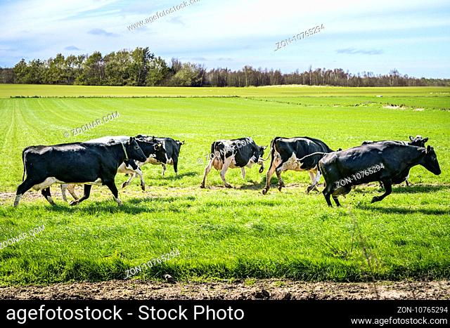 Cattle on grass for the first time in the spring running and jumping in excitement