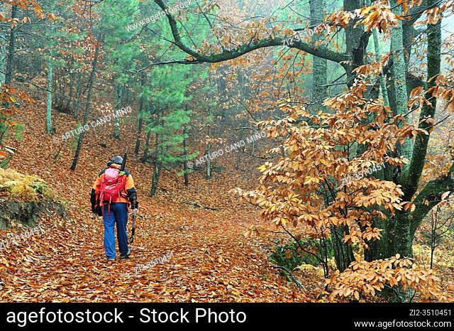 Hiker in the Forest of El Castañar (Chesnut grove) in autumn. Casillas town, Avila province, Spain