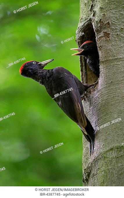Black woodpecker (Dryocopus martius) at the nesting hole, with young bird, Wittlich, Rhineland-Palatinate, Germany
