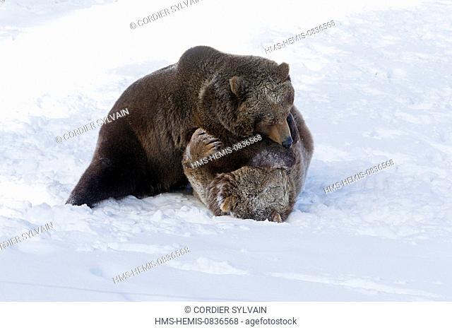 United States, Montana, Bozeman, Game Farm, Brown Bear, Grizzly (Ursus arctos horribilis), fighting