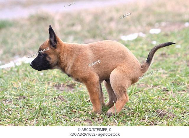 Belgian Malinois puppy defecating side