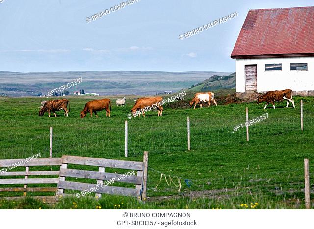 ICELANDIC COWS IN FRONT OF A FARM IN THE SOUTHWEST OF ICELAND, EUROPE