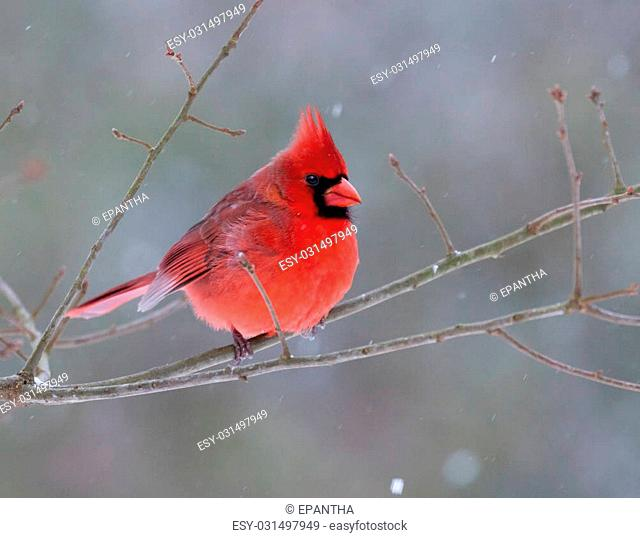 A beautiful male Northern Cardinal (Cardinalis cardinalis) perched on a branch on a snowy day