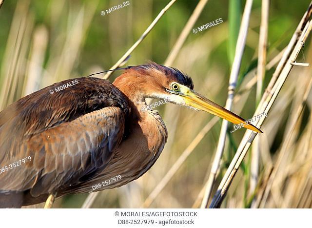 Europe, France, Ain, Dombes, . Purple heron Ardea purpurea, adult fishing in the vegetation