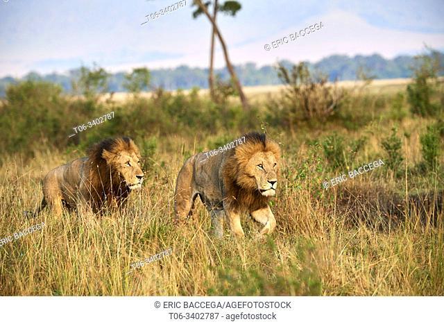 Two male lion brothers (Panthera leo) walking in the Masai Mara. Masai Mara National Reserve, Kenya