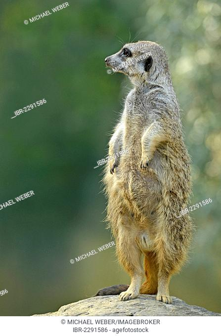 Meerkat or Surikate (Suricata suricatta), native to Africa, in captivity, Baden-Wuerttemberg, Germany, Europe