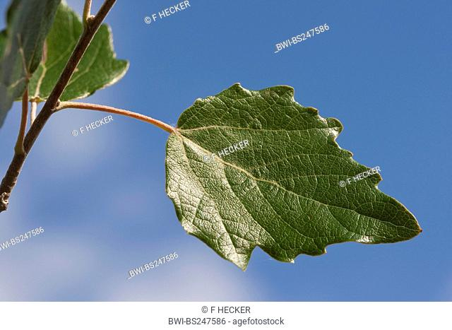 white poplar, silver-leaved poplar, abele Populus alba, leaf agains blu sky, Germany