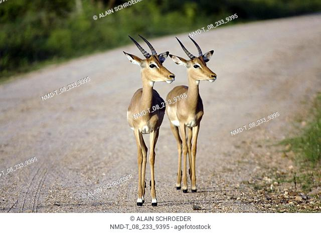 Two Springbok Antidorcas marsupialis, Kruger Park, South Africa standing on the road
