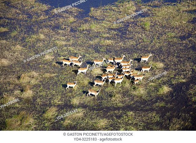 Aerial view of Red Lechwes (Kobus leche),in the floodplain. Okavango Delta, Botswana. The Okavango Delta is home to a rich array of wildlife