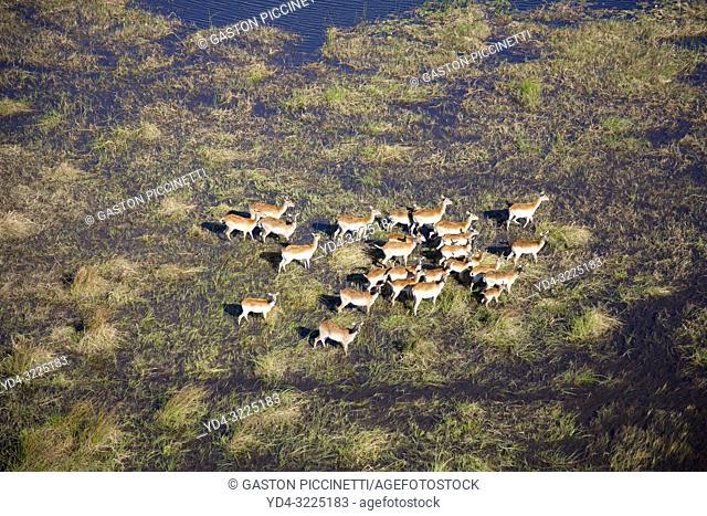 Aerial view of Red Lechwes (Kobus leche),in the floodplain. Okavango Delta, Botswana. The Okavango Delta is home to a rich array of wildlife