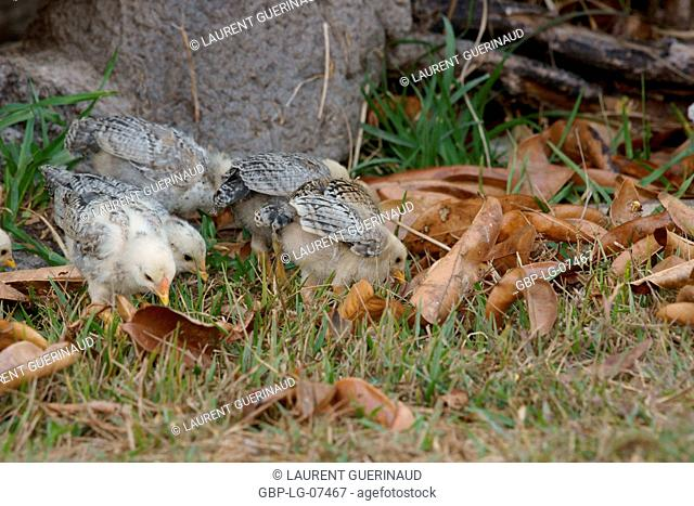 Birds, chicks, Lençois, Atins, Maranhão, Brazil