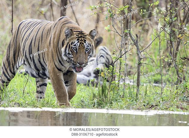 Asia, India, Maharashtra, Tadoba Andhari Tiger Reserve, Tadoba national park, Bengal tiger (Panthera tigris tigris), refreshes itself in an artificial water...