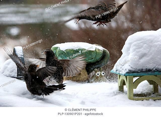Common Starlings / European Starling (Sturnus vulgaris) fighting with Common Blackbird (Turdus merula) at bird feeder in garden during snow shower in winter