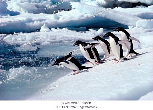 Adelie penguins run into sea, Antarctica