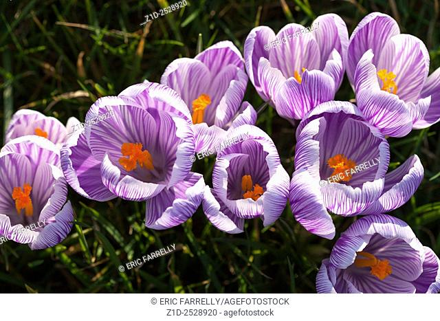 Spring crocuses Montrose Scotland UK