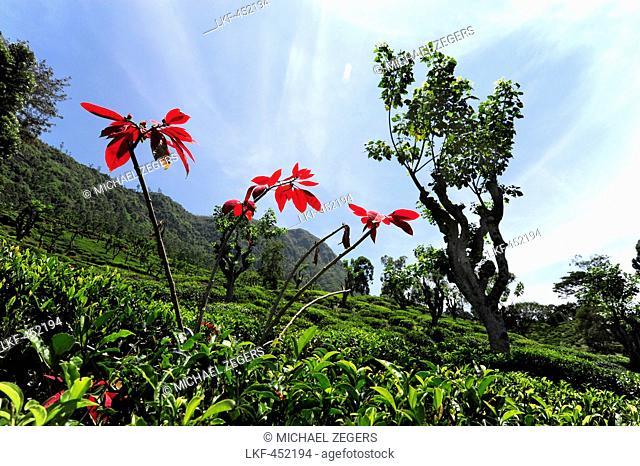 Tea plantation in the highlands, Nuwara Eliya District, Central Province, Ceylon, Sri Lanka, Asia