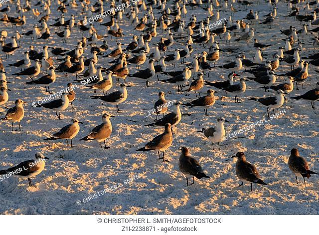 Seagulls flock to the shoreline at Siesta Key beach Sarasota Florida at sunset