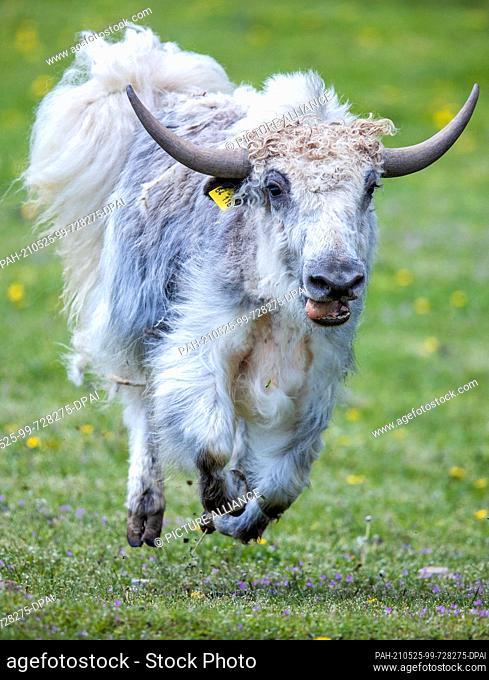 21 May 2021, Mecklenburg-Western Pomerania, Sternberg: A yak runs through the outdoor enclosure at the Sternberger Burg camel farm