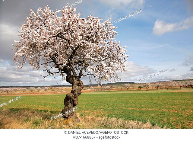 Old Almond tree in blossom, Biosfera reserve, Jubera valley, Rioja wine region, Spain