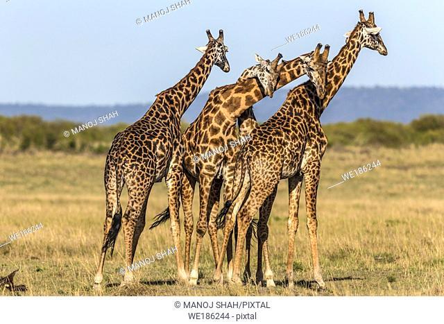 Giraffes 'necking'