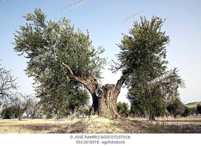 Olive tree in Valdeciervos. Pinto. Madrid. Spain. Europe