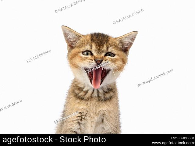 Kitten golden ticked british chinchilla straight sits in front on a white background. The cat opened his mouth and stuck out his tongue, yawns