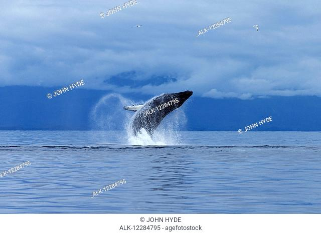 A Humpback whale leaps from the calm waters of the Inside Passage, Chatham Strait, Southeast Alaska