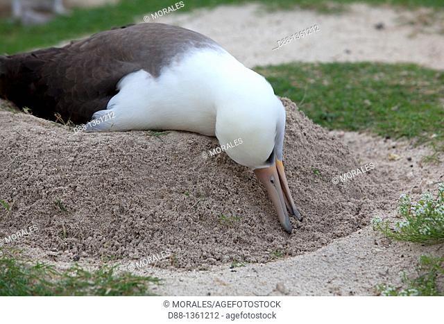 Hawaï , Midway , Sand Island , Laysan Albatross ,  Phoebastria immutabilis