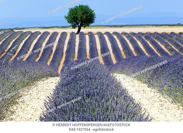 Lavender; Provence; France