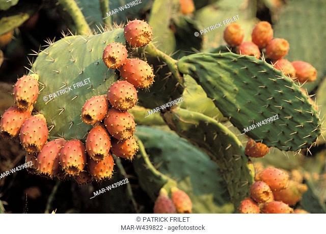opuntia- ficus indica