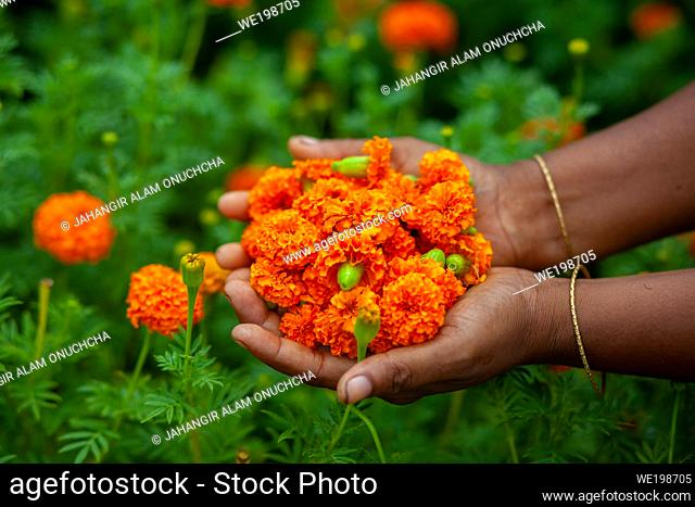 Two handfuls of orange marigold flowers displaying. A woman collecting marigold flowers