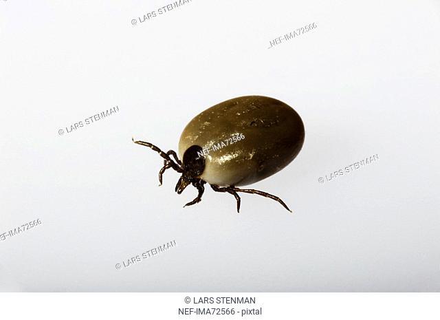 A tick