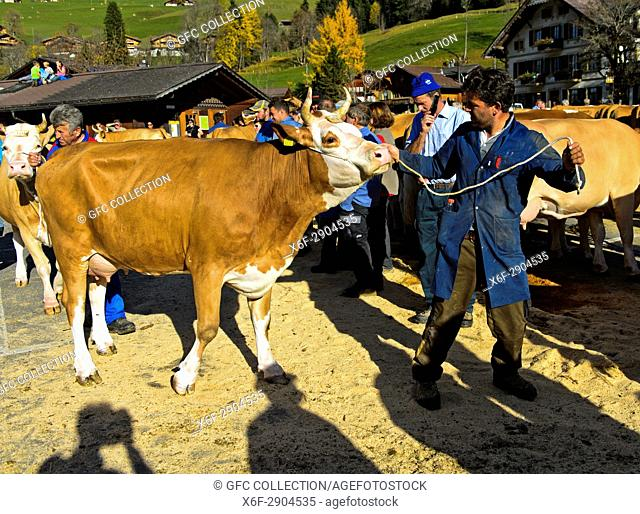 Simmentaler Kuh an einer Viehschau, Lauenen, Kanton Bern, Schweiz / Simmental Fleckvieh cow at a cattleshow, Lauenen, canton of Bern, Switzerland