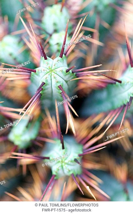 Pincushion Euphorbia, Euphorbia enopla, Close up showing spiky texture