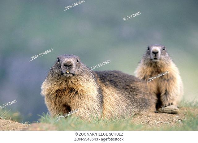 Alpenmurmeltier und Jungtier beobachten neugierig den Fotografen - (Murmeltier) / Alpine Marmot and young Marmot looking curious towards to the photographer /...