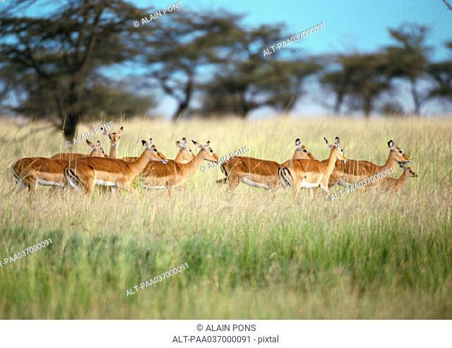 Africa, Tanzania, herd of impalas in savannah
