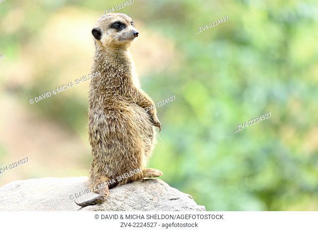 Pregnant Meerkat or Suricate (Suricata suricatta) standing vigilant on a rock