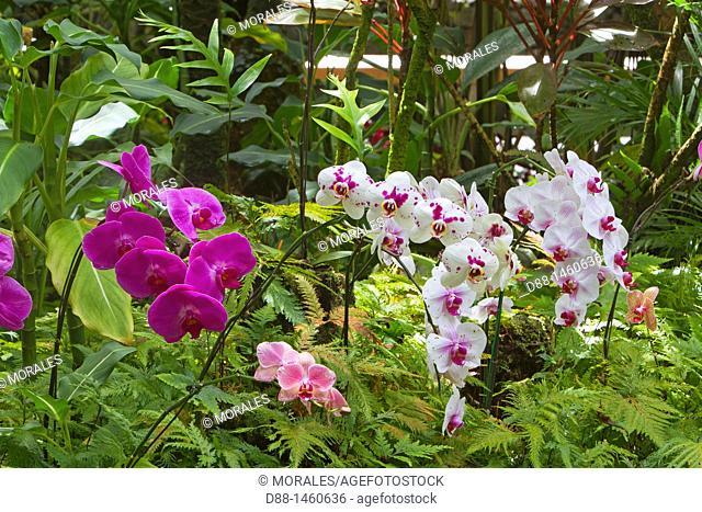 Hawaï , Big Island , Hamakua coast , Tropical botanical garden , Orchid
