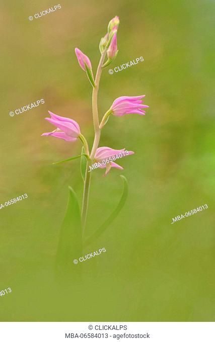 Cephalanthera rubra, Caprieto, Liguria, Genoa, Italy